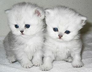 persian-kittens-for-sale.jpg