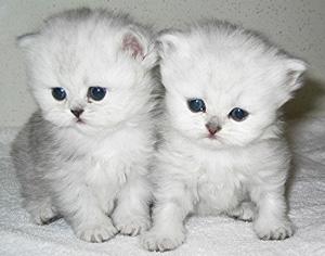 persian-kittens-for-sale.jpg