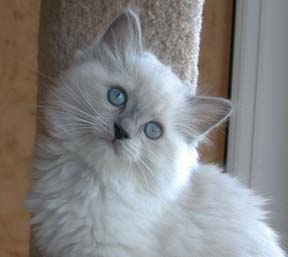 ragdoll-kittens-for-sale.jpg