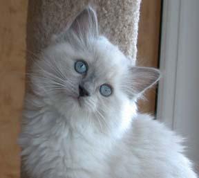 ragdoll-kittens-for-sale.jpg